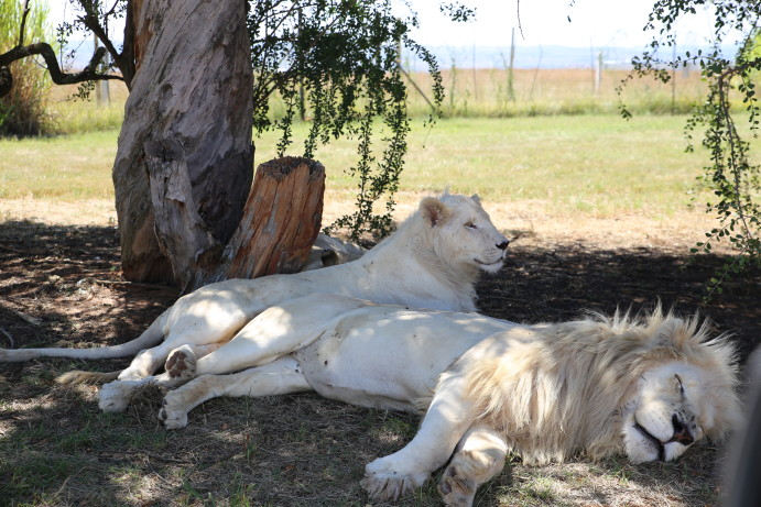 South Africa Lion Park white lions